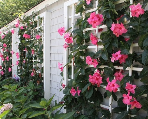 Bring The Tropical Mandevilla Flower Into Your Garden Ocean Home